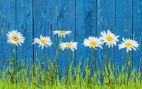 Picture grass, the fence, chamomile