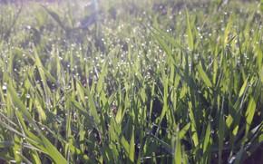 Picture grass, drops, Rosa, glare, morning, April, spring 2018, meduzanol ©