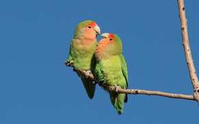 Picture birds, pair, parrots, rosy-cheeked lovebird