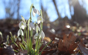 Wallpaper forest, flower, the sun, macro, flowers, glare, spring, snowdrops, primroses, the smell, flowers, aroma, macro, ...