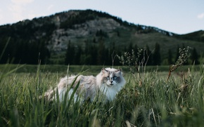 Picture grass, cat, look, nature, fluffy, muzzle, blue eyes