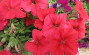 Picture flowers, red, petunias, mamala ©