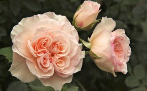 Picture macro, roses, buds