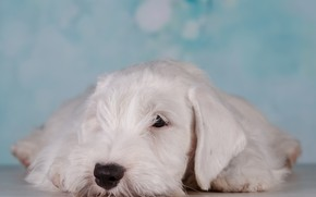 Picture stay, puppy, blue background