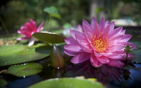 Picture pink, Nymphaeum, water Lily