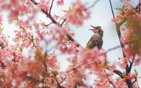 Picture bird, Sakura, flowering