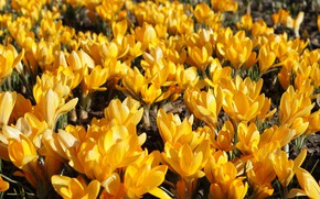 Wallpaper spring, yellow, flowering, crocuses, nature, macro, flowers