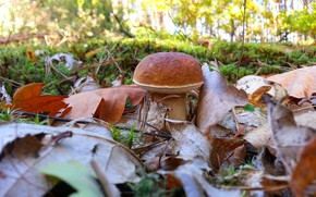 Picture white, nature, mushroom, oak leaves, autumn in the forest