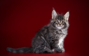 Picture background, Kitty, kitty, Baby, Maine Coon