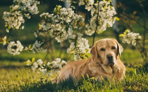 Picture look, branches, dog, spring, garden, flowering, Labrador Retriever