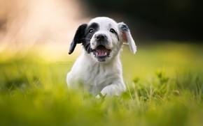 Picture grass, joy, mood, puppy, walk, bokeh, doggie, Cocker Spaniel