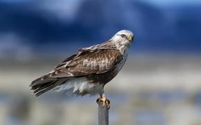 nature, bird, The rough-legged Buzzard, Rough Legged Hawk