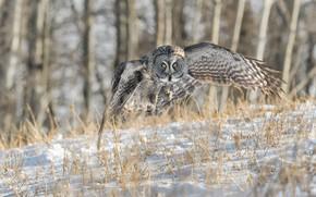 Picture Nature, Winter, Owl, Bird, Flight