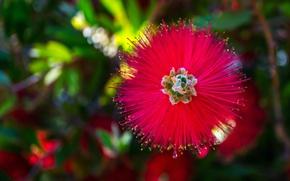 Picture macro, nature, petals, exotic, Callistemon