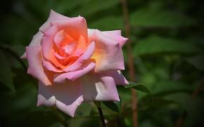 Picture Pink rose, Rose, Rose, Pink rose