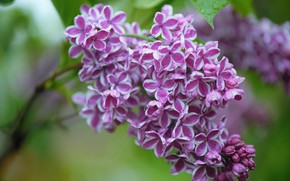 Picture drops, macro, branch, flowers, lilac, inflorescence