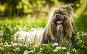 Picture greens, language, summer, grass, flowers, nature, smile, Park, background, glade, portrait, chamomile, dog, wool, garden, …