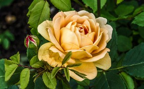 Picture flower, rose, Bush, Bud, yellow