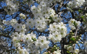 Picture the sky, flowers, cherry, April, spring 2018, Mamala ©