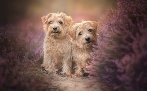 Picture dogs, pair, two dogs, twins, Heather, The Norfolk Terrier