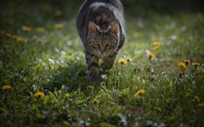 Picture cat, grass, look, flowers, walk, dandelions