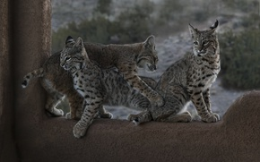 Wallpaper kittens, lynx, cubs, Trinity