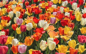 Wallpaper tulips, colorful, buds, a lot, plantation