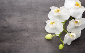 Picture flowers, white, white, buds, Orchid, flowers, orchid