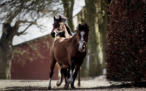 Picture nature, Park, tree, the fence, horses, horse, running, pair, walk, brown, two, gallop, shrub, two …