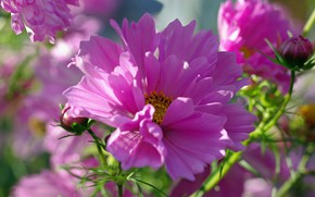 Picture flowers, beauty, plants, flora, pink color, kosmeya, annuals, summer nature