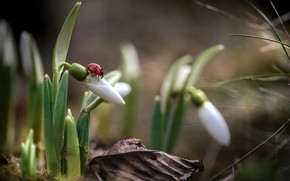 Picture ladybug, spring, snowdrops
