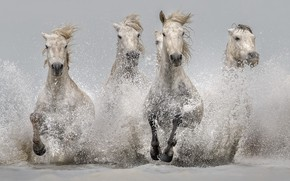 Wallpaper squirt, horses, water