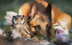 Wallpaper spring, friendship, bird, German shepherd, a couple, owl, nature, flowers, animals, dog