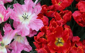Picture Flowers, Tulips, Red, Pink