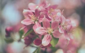 Picture macro, branch, spring, Apple, flowering, flowers, bokeh