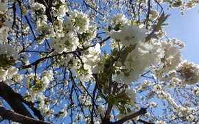 Picture Flowers, The sun, Spring, Cherry