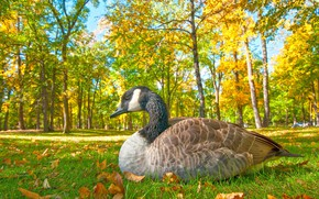 Wallpaper goose, Park, autumn, bird, grass