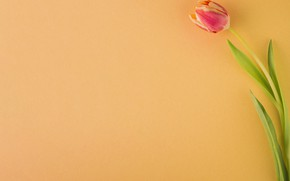 Picture flowers, background, Tulip, buds