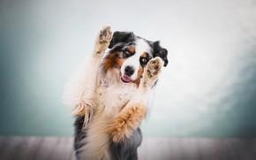 Picture dog, paws, bokeh, Australian shepherd, Aussie