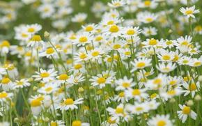 Wallpaper nature, meadow, field, chamomile
