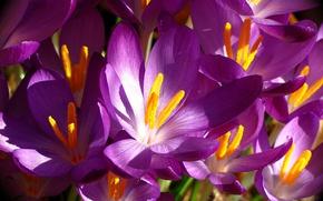 Picture macro, Krokus, saffron
