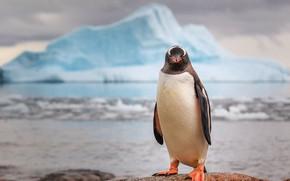 Wallpaper Antarctica, rocks, penguin, iceberg
