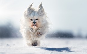 Picture snow, dog, running, walk, bokeh, The Havanese, shaggy