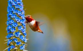 Picture flower, macro, bird, Hummingbird