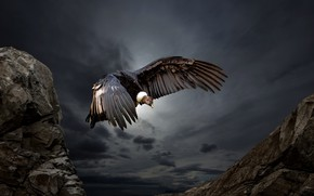 Picture nature, bird, Condor