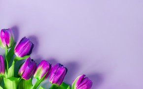 Picture purple, flowers, background, tulips, flowers, tulips, purple