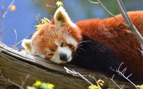 Picture tree, sleep, Panda, red Panda, red, wildlife, red Panda, small