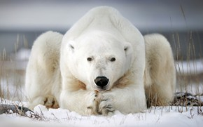Picture winter, snow, pose, polar bear
