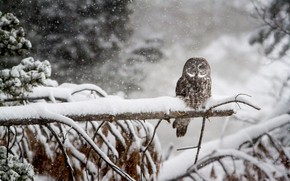 Picture winter, forest, snow, owl, bird