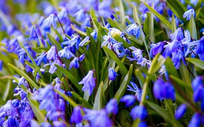 Picture flowers, blue, spring, snowdrops, Scilla